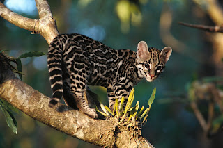 Wild Cat wallpaper