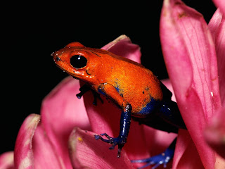 Red Frog wallpaper