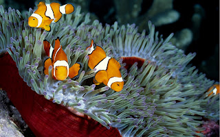 Clown Fishes wallpaper