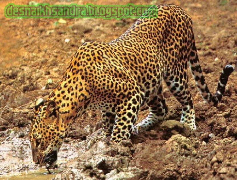 20+ Macan kumbang jaguar hewan terbaru