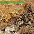 Perbedaan Jaguar Dan Leopard (Macan Tutul)