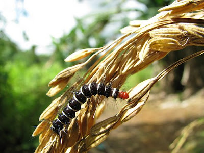 black and white caterpillar clip art. Black caterpillar with white