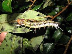 [yellowish_caterpillar_10.jpg]
