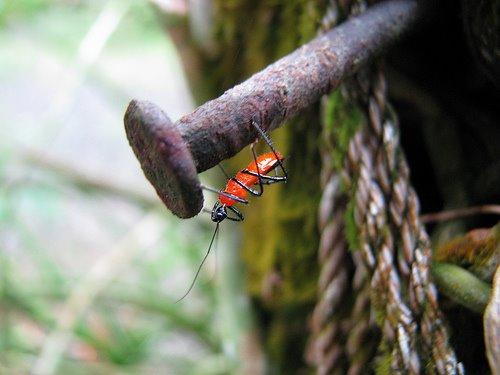 [red-weevil.jpg]