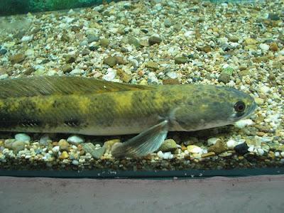 Snakehead Fish, Baby Snakehead Fish