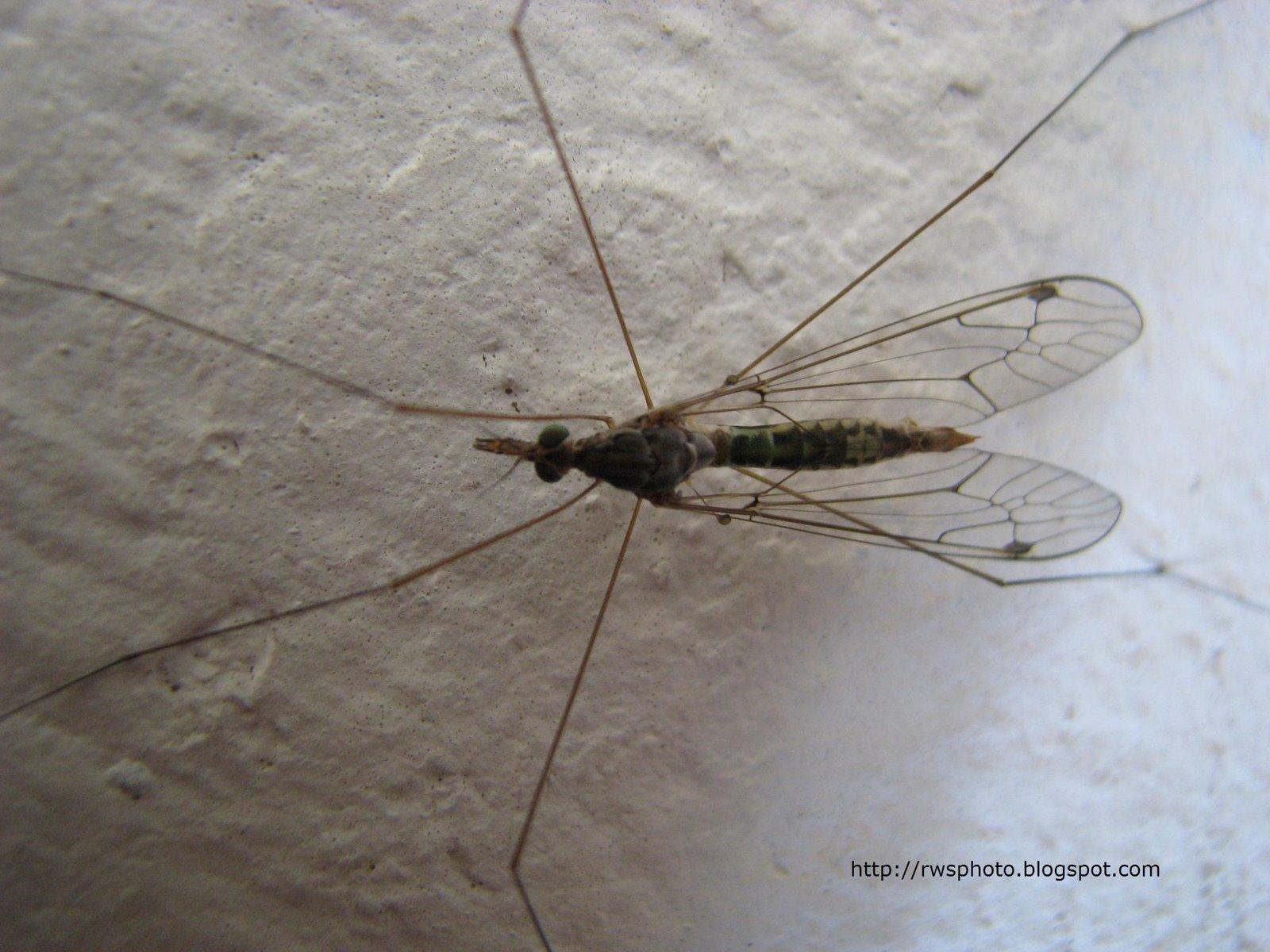 [long_legged_mosquitoes2.jpg]