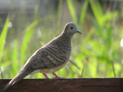 tropical dove
