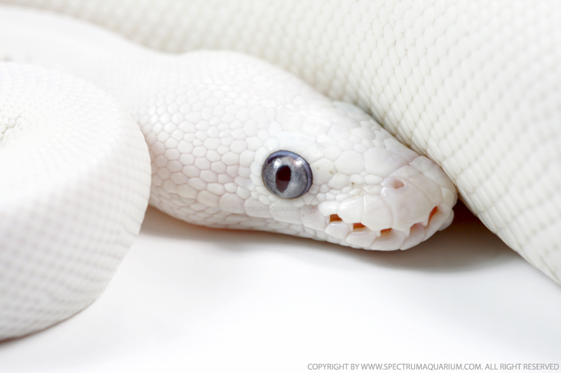 1000+ images about Serps / Snakes on Pinterest | Snakes ...