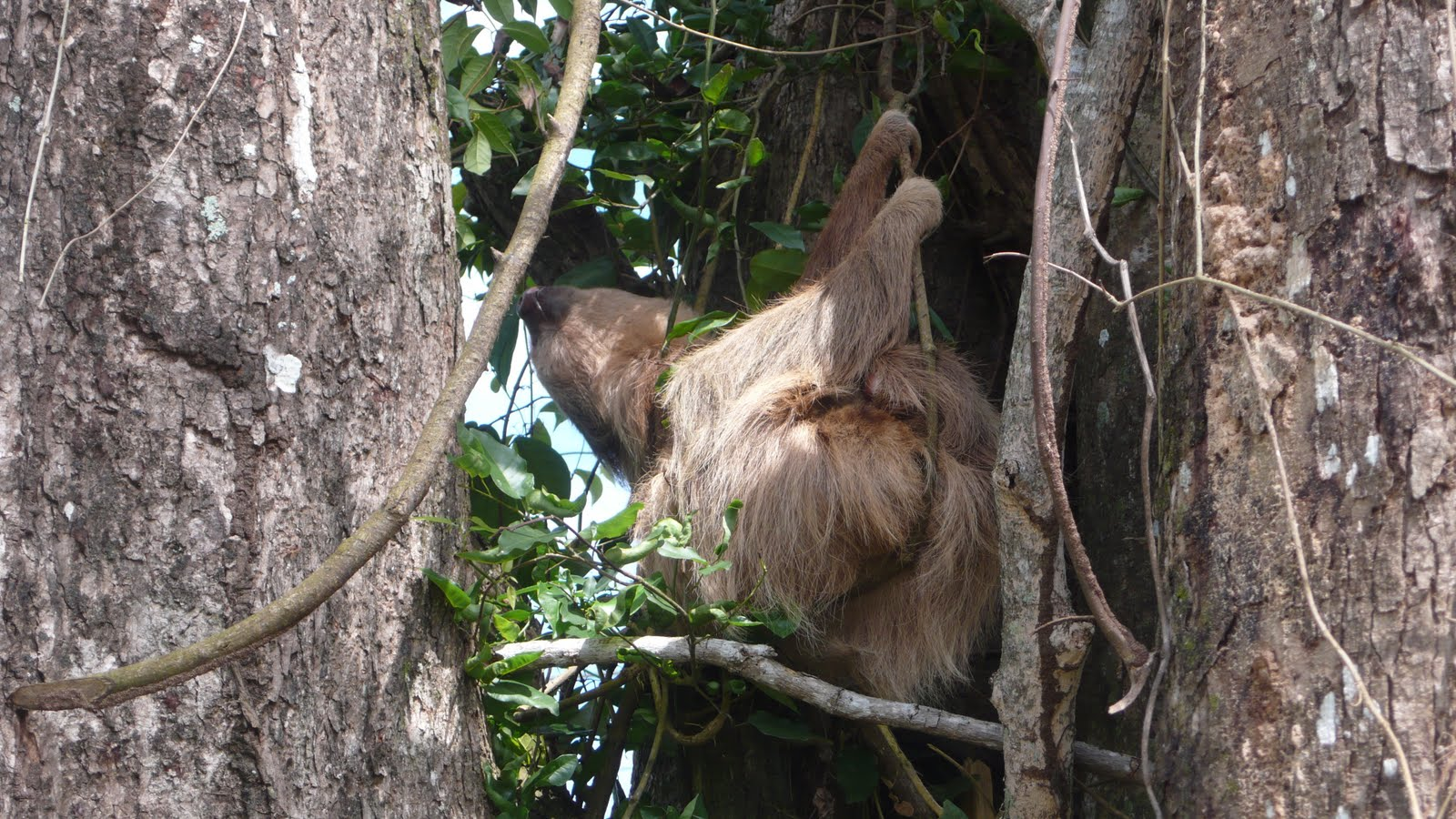 our resident sloth - Patsy