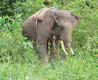 http://3.bp.blogspot.com/_YusffwX9GiI/SW8lygeztLI/AAAAAAAAAIs/fKMb8trUzuw/s400/gajah+sumatra.jpg