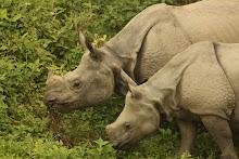 Rinoceronte Indio