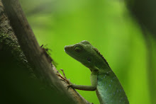 Lagarto verde