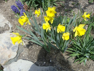 yellow daffodils photo by oystergirl