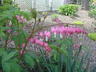Pink Bleeding Hearts photo by oystergirl