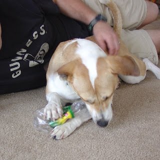 Libby the brown and white dog eating a plastic bottle