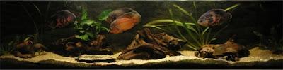 Velvet Chichlids - Astronotus occellatus