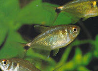 Head & Taill Light Tetra - Hemigrammus Ocellifer