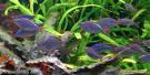 Neon Rainbow Fish