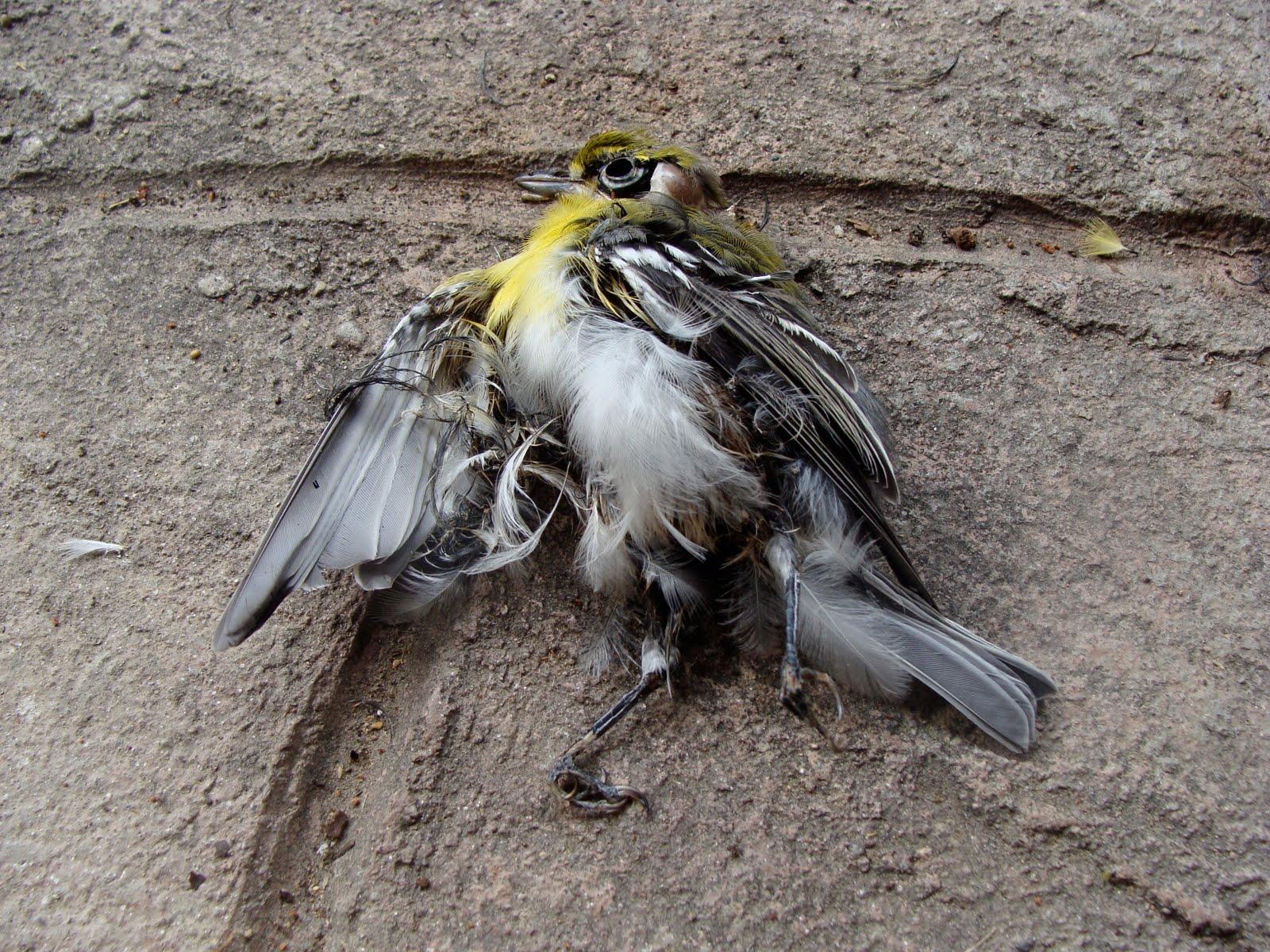 Found Dead Bird on Porch a Dead Bird Found Near my