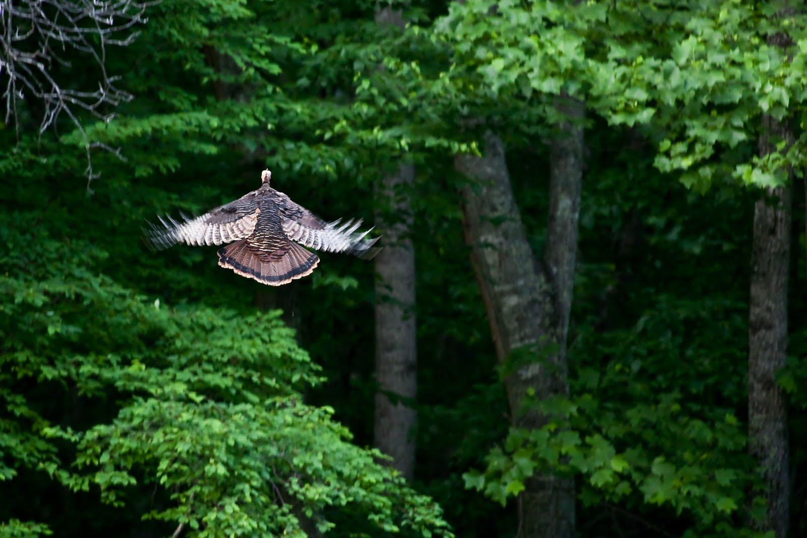 Wild turkey flight - photo#23