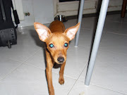 Il Mio Pinscher Nano: Photos