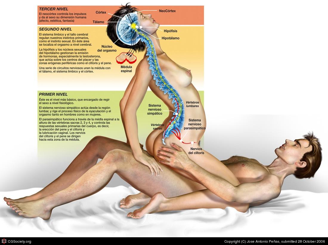 en las vesículas seminales en los hombres y en el clítoris, en la