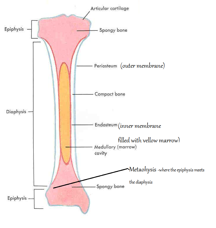 Describe the anatomy and histology of bone tissue 592194 - togelmaya ...