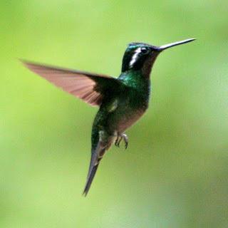 Burung burung kicau of burung kolibri