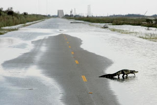 An alligator crosses Gulfway Drive on the north side of the Bolivar Peninsula, September 15