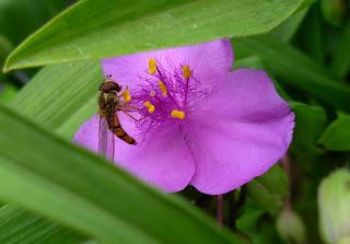 tradescantia insect
