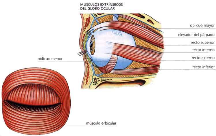 El Sentido de la Vista.: Anexos del ojo.