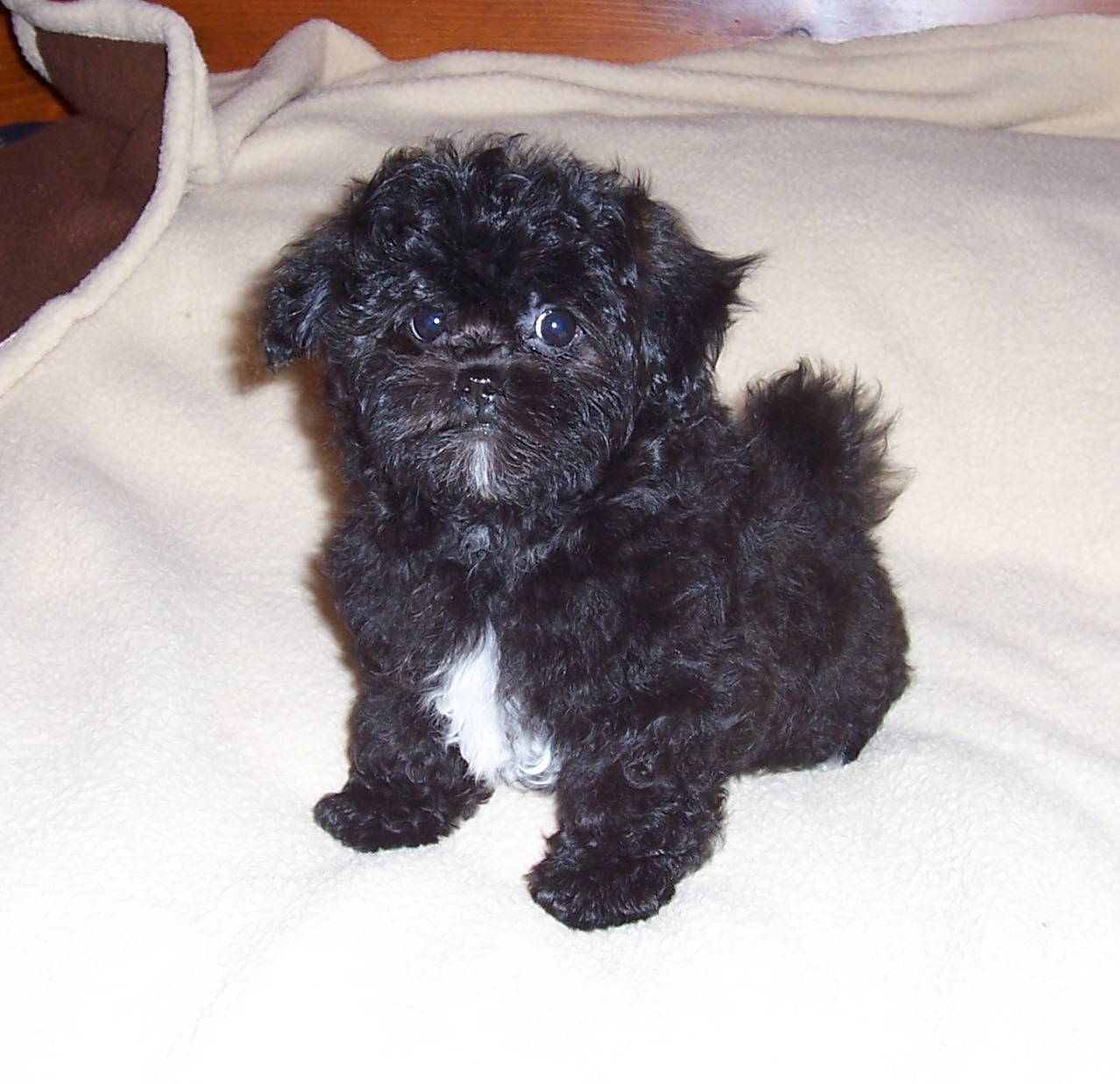 Original  For Haircuts For Shih Poo Dogs  Black Hairstyle And Haircuts