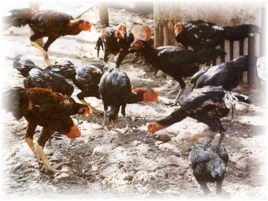 obat hewan sapi