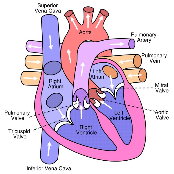 5th grade body systems circulatory lessons tes teach cs its science august 2010 3 diagram ccuart