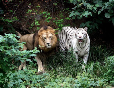 Lion Tiger Hybrid