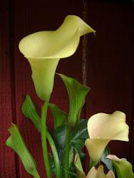 Calla lilies in my garden.