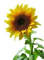 Pesona bunga matahari melambangkan kemurnian dan pemikiran yang dalam