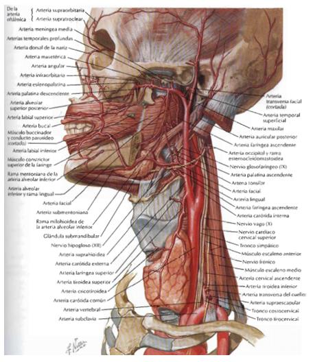El blog neuroanatomico del Dr. Mime: CUELLO: ARTERIAS