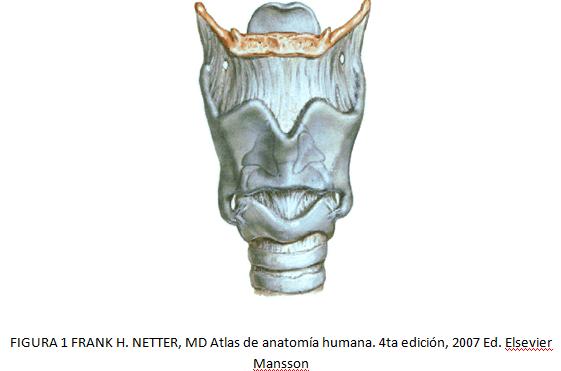 cardiorespiratoriouq: La laringe por Daniel Morales