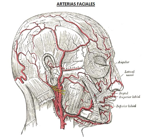 digestivouq: Arterias de la cara por Juan Pablo Ospina