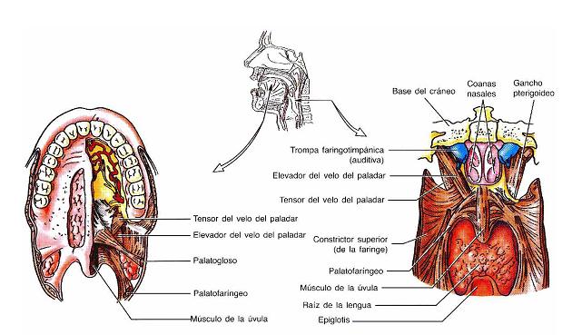 digestivouq: Velo del paladar, paladar muelle o paladar blando por ...
