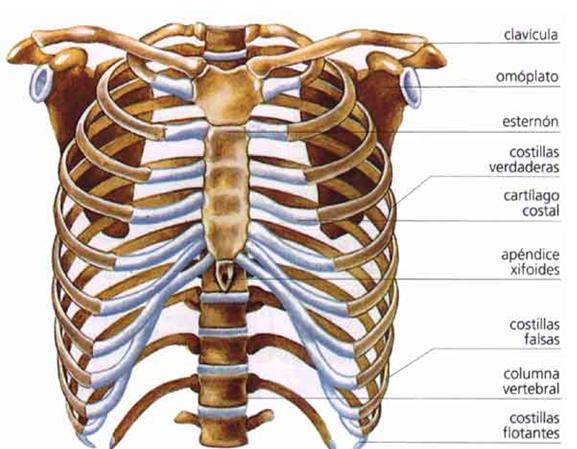 huesos anatomia: