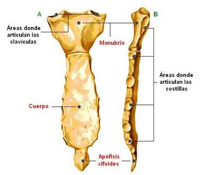 Mis Apuntes de Medicina: Anatomia-Tórax Oseo(00)