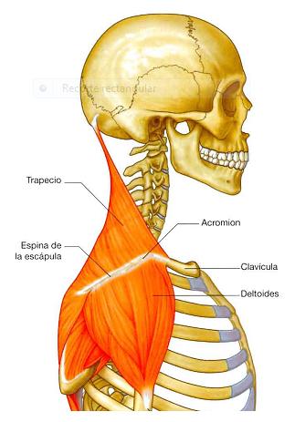 digestivouq: Músculos del cuello por Madelyn Albarracin Duarte