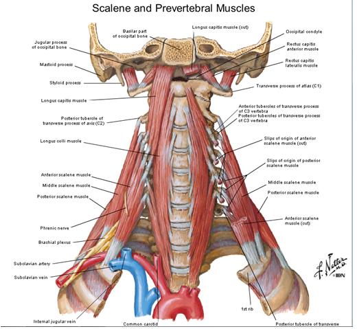 El blog neuroanatomico del Dr. Mime: CUELLO: MUSCULOS Y APONEUROSIS ...