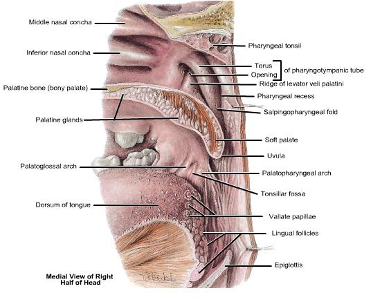 digestivouq: AMIGDALAS PALATINAS POR DIEGO FERNANDO INSUASTY SALAS