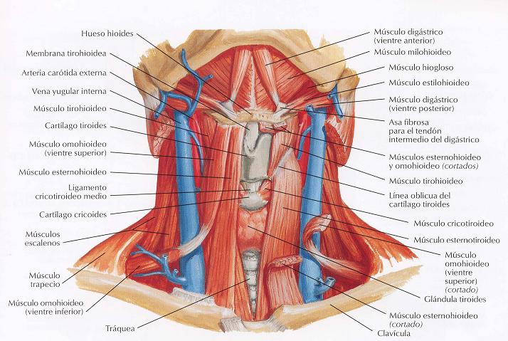 El blog neuroanatomico del Dr. Mime: ANATOMIA: CUELLO: VENAS