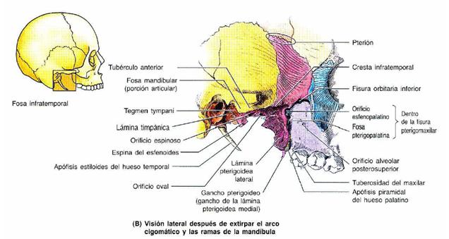 Tutorial Anatomía Cabeza y Cuello: Region Infratemporal o Pterigomaxilar