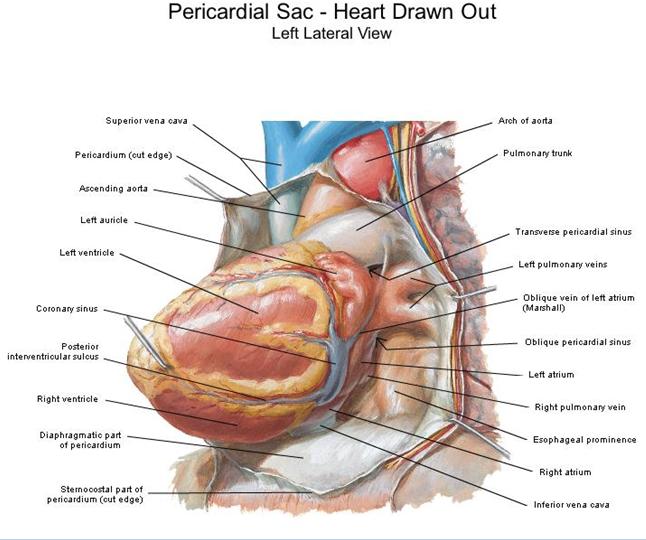 FAMELUZ: Configuración externa del corazón.