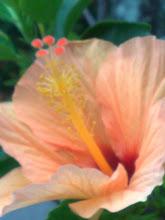 Série hibiscos